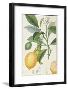 The Lemon Tree, Engraved by Dubois, C.1820 by Pierre Jean Francois Turpin