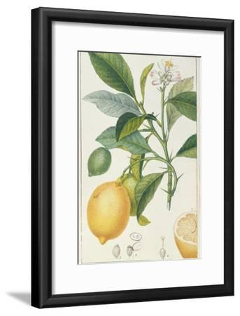 The Lemon Tree, Engraved by Dubois, C.1820