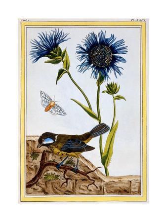 Cornflower, C.1766