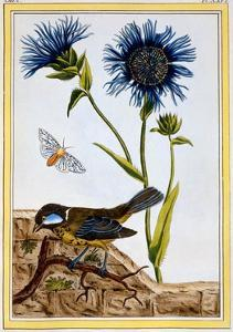 Cornflower, C.1766 by Pierre-Joseph Buchoz