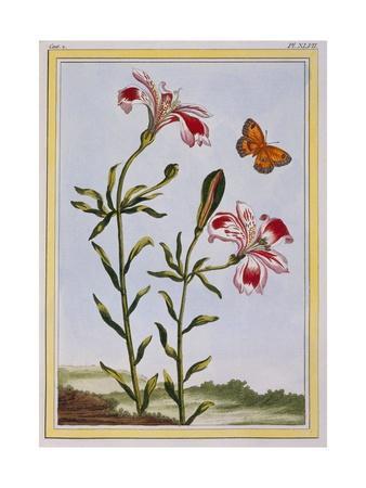 La Fleur Tachete Des Incas (Peruvian Lily), C.1766