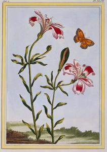 La Fleur Tachete Des Incas (Peruvian Lily), C.1766 by Pierre-Joseph Buchoz