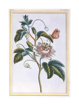 La Grenadille or Le Maracot (Blue Passion Flower), C.1766