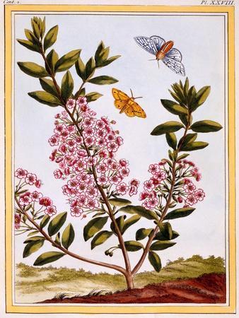 Sheep's Laurel (Kalmia Augustifolia), C.1766