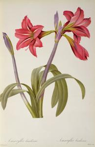 Amaryllis Brasiliensis, from `Les Liliacees' by Pierre Redoute, 8 Volumes, Published 1805-16, by Pierre-Joseph Redout?
