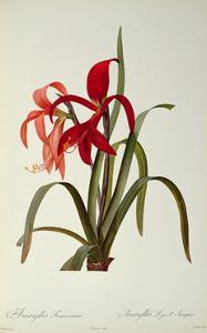 Amaryllis Formosissima, 1808, from 'Les Liliacees' by Pierre Redoute, 8 Volumes, Published 1805-16 by Pierre-Joseph Redout?