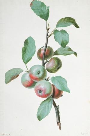 Apples by Pierre-Joseph Redout?
