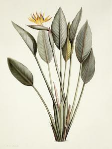 Bird of Paradise by Pierre Joseph Redout?