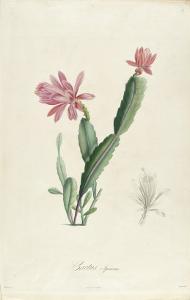 Cactus Speciosus by Pierre-Joseph Redout?