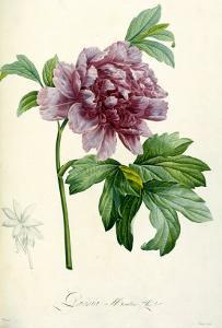Hand Colored Engraving of a Peony, 1812-1814 by Pierre-Joseph Redout?