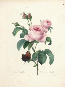 Hundred-Leaved Rose by Pierre Joseph Redout?