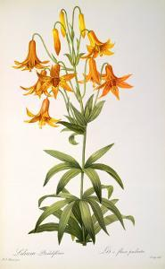 Lilium Penduliflorum, from Les Liliacees, 1811 by Pierre-Joseph Redout?