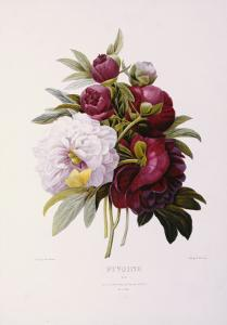 Peonies, Engraved by Prevost by Pierre-Joseph Redout?