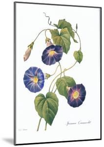 Redoute Ipomaea Quamoclit by Pierre-Joseph Redout?