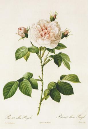 Redoute Rosa Alba Regalis by Pierre-Joseph Redout?