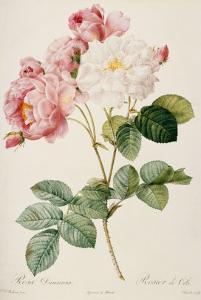 Rosa Damascena by Pierre-Joseph Redout?