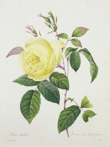 Rosa Indica, Engraved by Bessin, from 'Choix Des Plus Belles Fleurs', 1827 by Pierre-Joseph Redout?