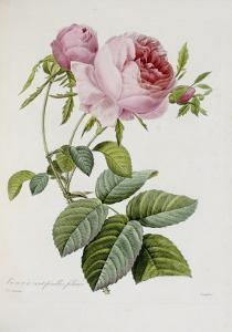 Rose by Pierre-Joseph Redout?
