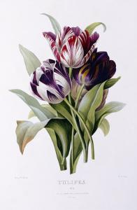 Tulips by Pierre-Joseph Redout?