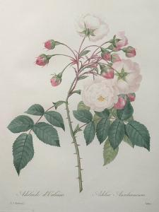 Adelaide of Orleans Rose by Pierre-Joseph Redoute