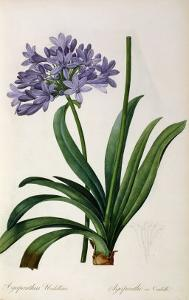 Agapanthus Umbrellatus, from Les Liliacees by Pierre-Joseph Redouté