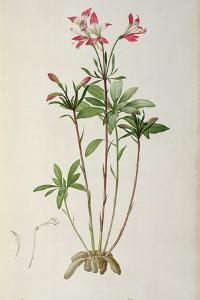 Alstraemeria Ligtu, from `Les Liliacees' by Pierre Redoute, 8 Volumes, Published 1805-16 by Pierre Joseph Redoute