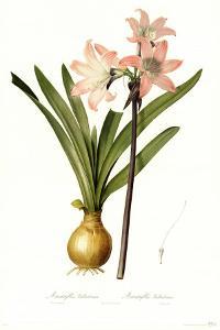 Amaryllis Belladonna by Pierre-Joseph Redouté