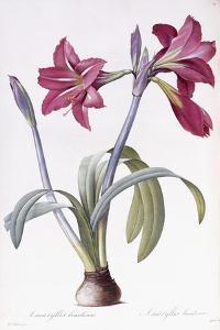 Amaryllis Brasiliensis by Pierre-Joseph Redouté