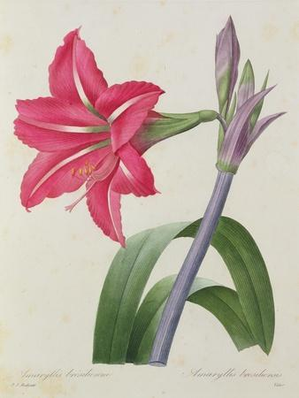 Amaryllis Bresiliensis (Brazilian Amaryllis), Engraved by Victor, from 'Choix Des Plus Belles…
