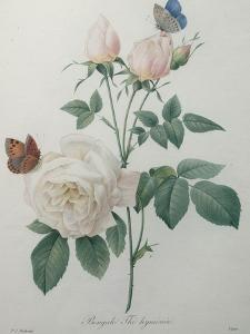 Bengal Rose by Pierre-Joseph Redoute