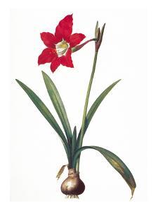 Botany: Lily by Pierre-Joseph Redouté