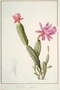 Cactus Speciosus, 1811 (W/C and Bodycolour over Traces of Graphite on Vellum) by Pierre Joseph Redoute
