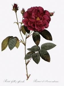 Common Provins Rose by Pierre Joseph Redoute