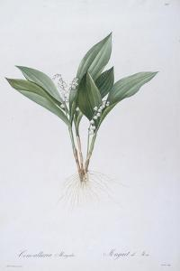 Convallaria Majalis (Lily of the Valley), 1808 by Pierre Joseph Redoute