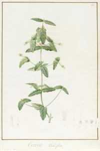 Correa Vieisiflora, 1811 (W/C and Bodycolour over Traces of Graphite on Vellum) by Pierre Joseph Redoute