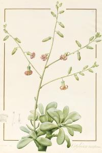 Cotyledon Cardiflorum, 1813 (W/C and Bodycolour over Graphite on Vellum) by Pierre Joseph Redoute