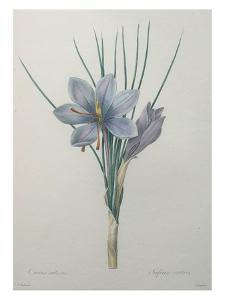 Crocus by Pierre-Joseph Redoute