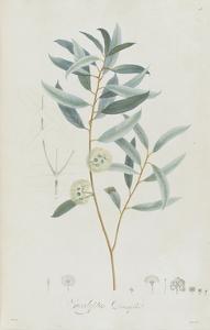 Description des plantes rares que l'on cultive à Navarre et à Malmaison by Pierre-Joseph Redouté
