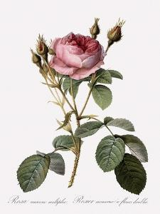 Double Moss Rose by Pierre Joseph Redoute