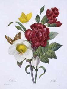 Ellebore Et Oeillet, from 'Choix Des Plus Belles Fleurs', Published Paris, 1829 by Pierre Joseph Redoute