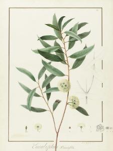 Eucalyptus Diversifolia, 1811 (W/C and Bodycolour over Traces of Graphite on Vellum) by Pierre Joseph Redoute