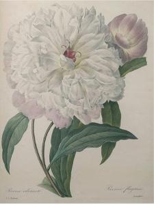 Fragrant Peony by Pierre-Joseph Redoute