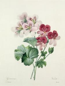 Geranium Variety (Crane's-Bill) from 'Choix Des Plus Belles Fleurs', 1827 by Pierre-Joseph Redouté
