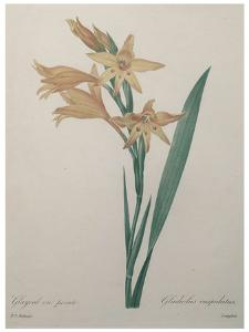 Gladiola by Pierre-Joseph Redoute