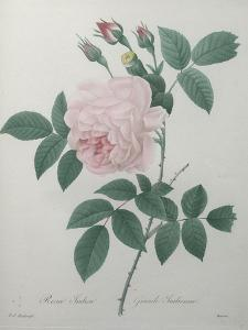 Great Indian Rose by Pierre-Joseph Redoute