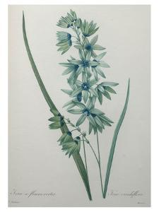 Green Wand Flower or Corn Lilly by Pierre-Joseph Redoute