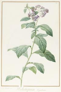 Heliotropium Corymbosurn, 1812 (W/C and Bodycolour over Graphite on Vellum) by Pierre Joseph Redoute