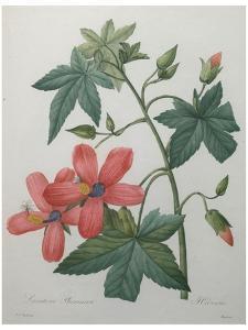 Hibiscus by Pierre-Joseph Redoute
