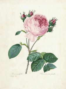Hundred-Leaved Rose, from 'Choix Des Plus Belles Fleurs Et Des Plus Beaux Fruits', Vol. I, 1827-33 by Pierre-Joseph Redouté