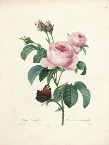 Hundred-Leaved Rose by Pierre-Joseph Redouté